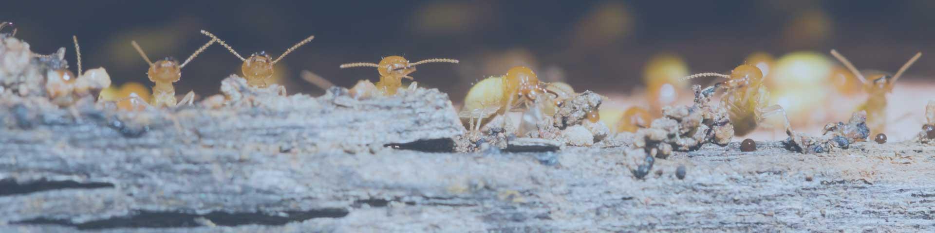 Stéphane Sangline, Diagnostic Termites